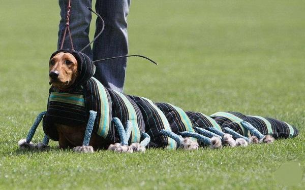 Конкурс костюмов для собак на выставках