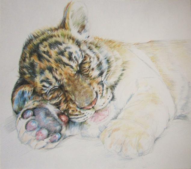 графика, анималистика, этапы работы, тигр, тигренок, цветные карандаши