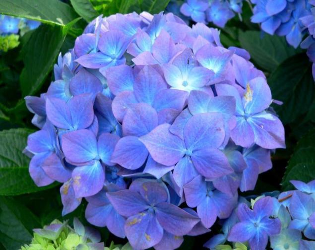 Прекрасные и ужасные! 13 смертельно опасных цветов и кустарников., фото № 9