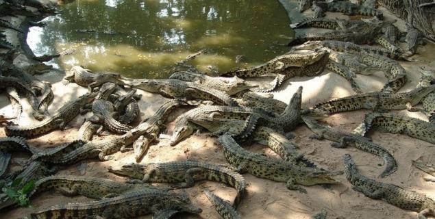 крокодил, кайман, садеков, крокодиловая ферма