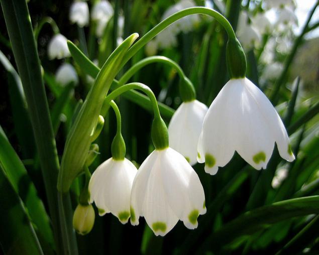 Подснежник - символ весны, надежды и чистоты!, фото № 7