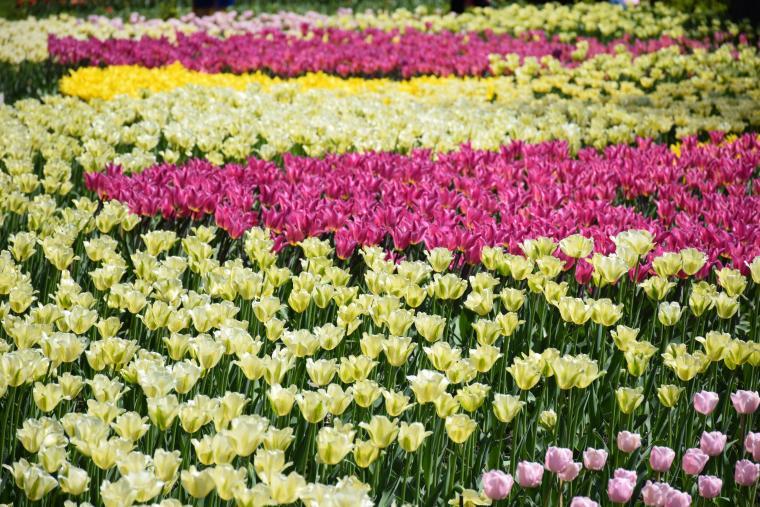 тюльпаны кировоград