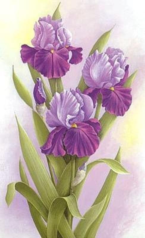 ирис, цветы, цветочки