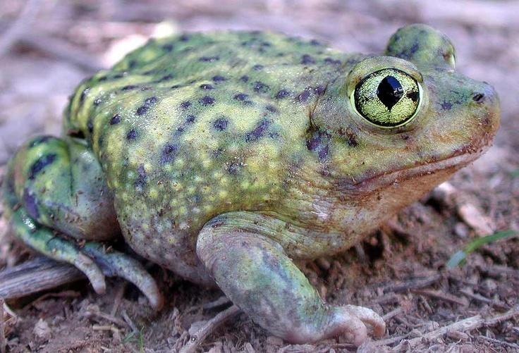запад виды жаб фото и названия важная