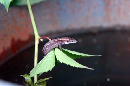 серьги саламандра