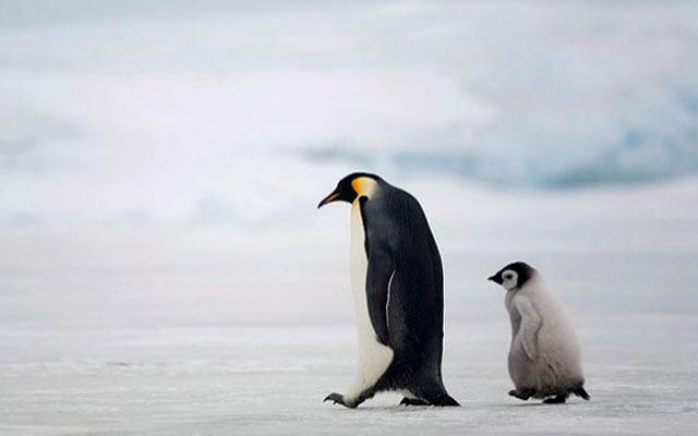 жизнь пингвинов