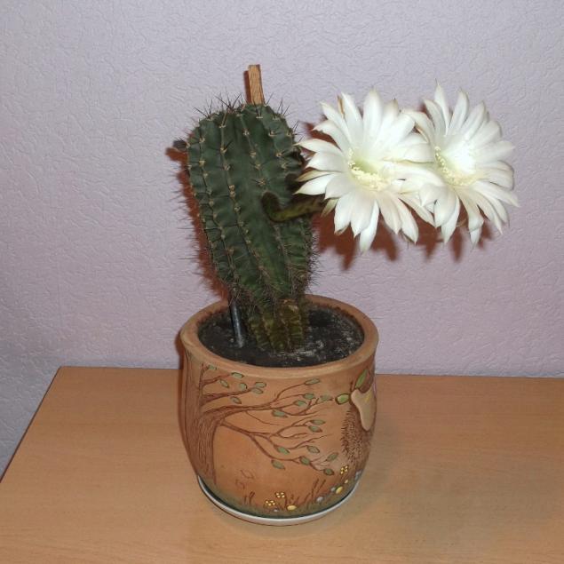 цветение кактуса, майские праздники, красота