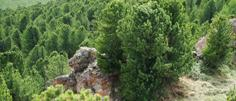 алтайский кедр, любовь, эпос, ручная работа, кедрач