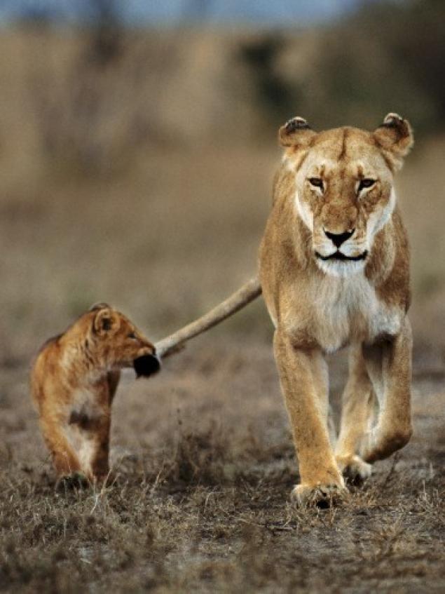 картинка лев кусает за хвост одну