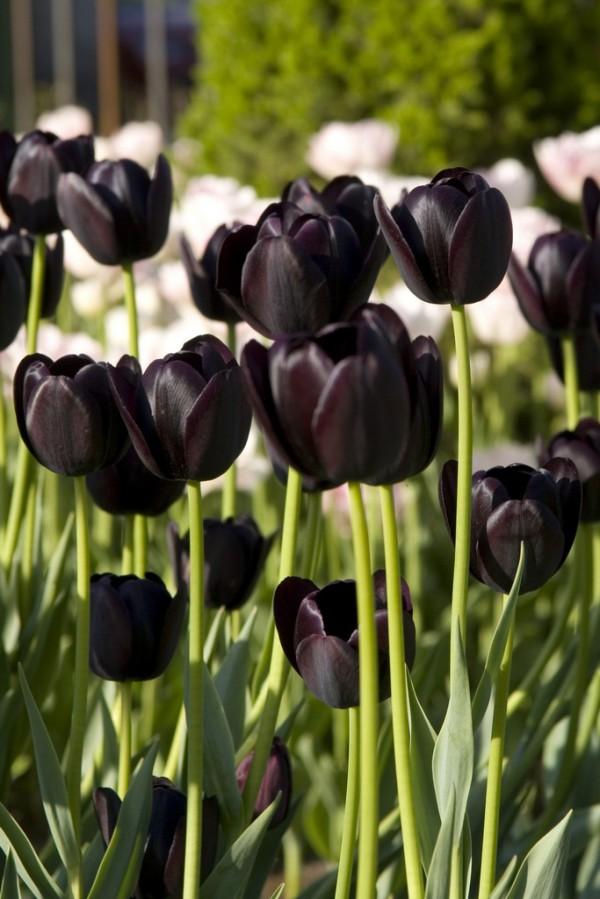 тюльпаны, черный