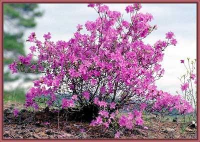 цветок богульника
