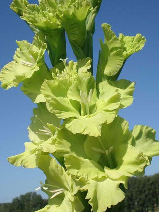 Помимо роз, порадовать зеленой палитрой могут гладиолусы.  Конечно, это экзотика, и встречаются такие растения...