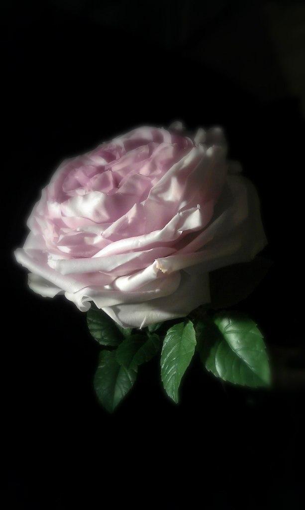полимерная глина, белла роза