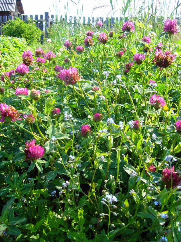 картина полевые цветы, акварель белые травы