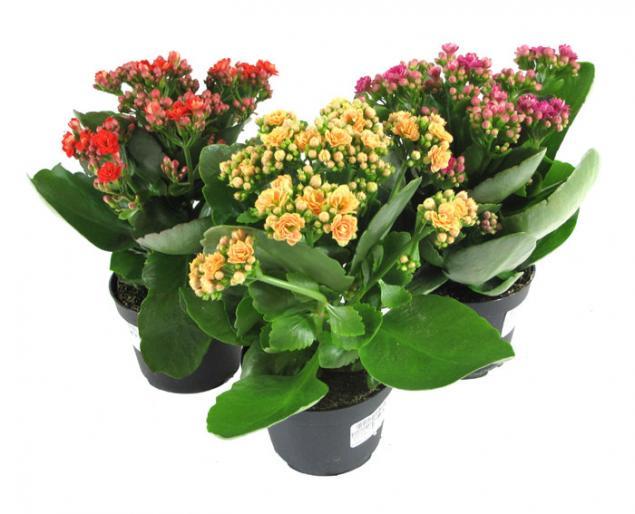 Комнатные цветы фиалки сенполии