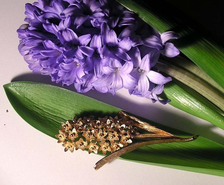 гиацинт, цветочные истории