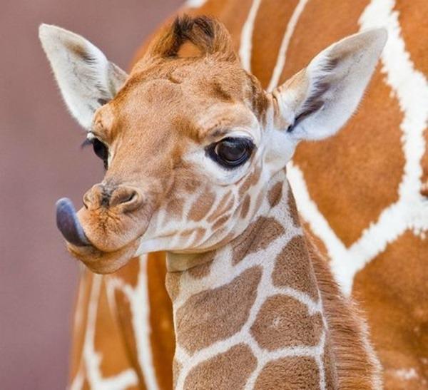 giraffaaccessories