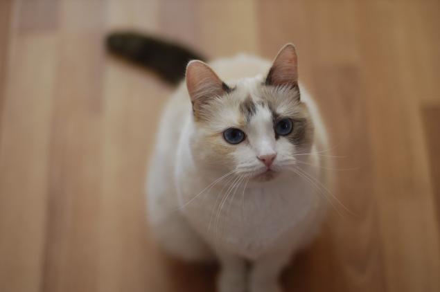 кошка, домашние питомцы