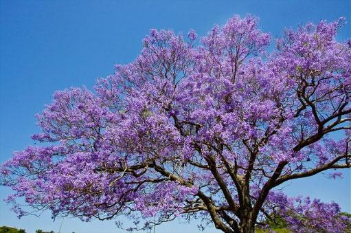 Палисандр цветы