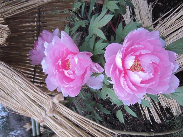 сад пионов, подарок на день рождения