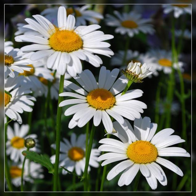легенда, цветы, ромашки
