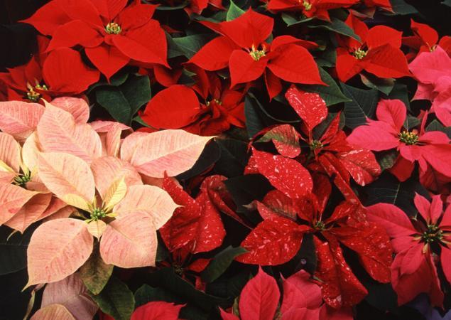 Прекрасные и ужасные! 13 смертельно опасных цветов и кустарников., фото № 10