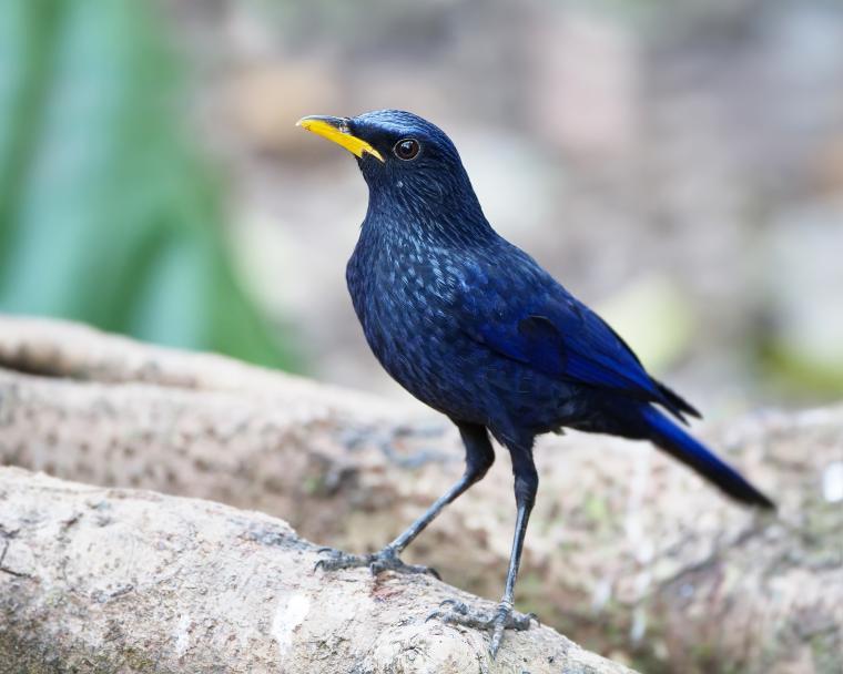синяя птица, брошь в виде птицы