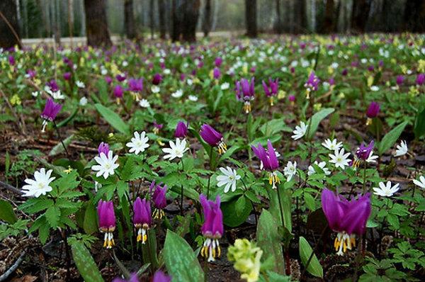 разобраться, картинки первоцветы сибири больше
