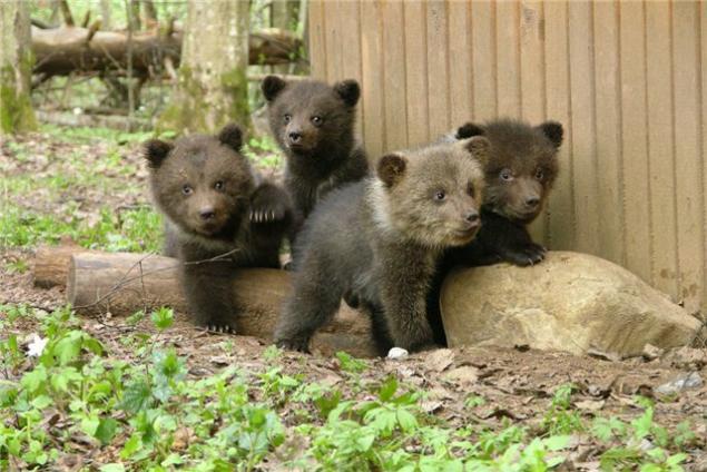 фотографии медвежат
