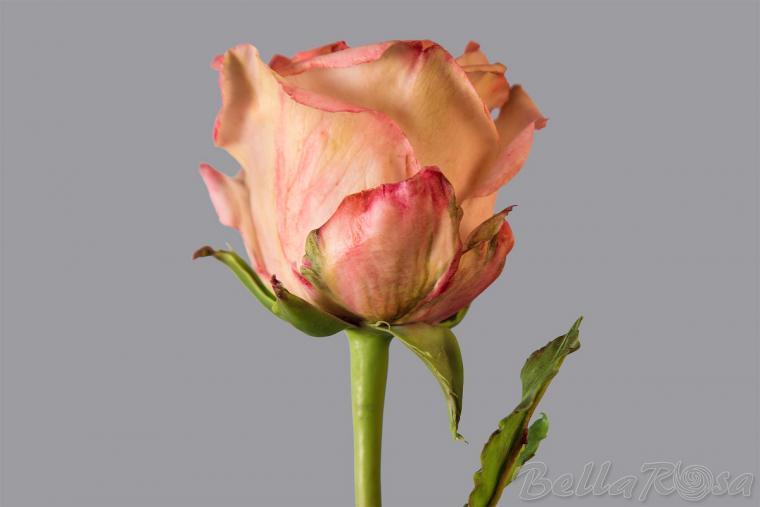 холодный фарфор, белла роза