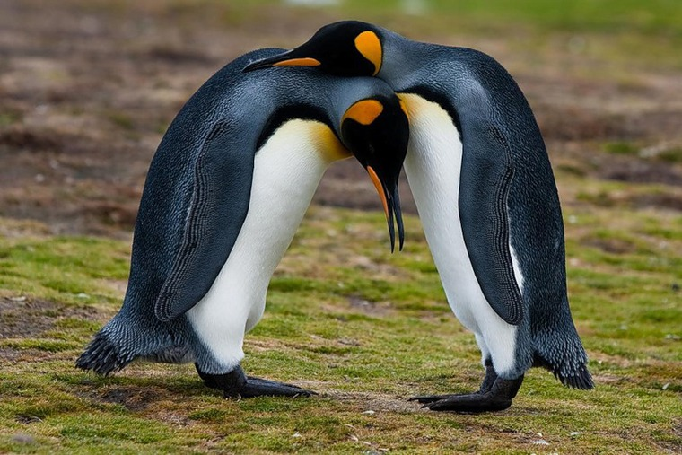 детёныши пингвинов