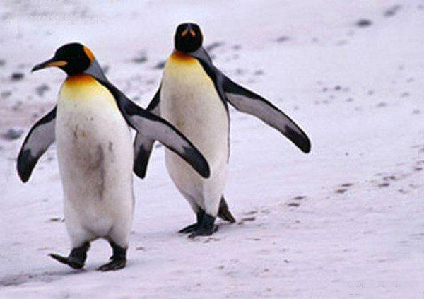 пингвин, пингвинёнок один