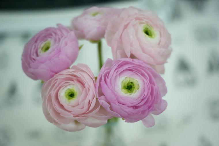 цветы, ранункулюс