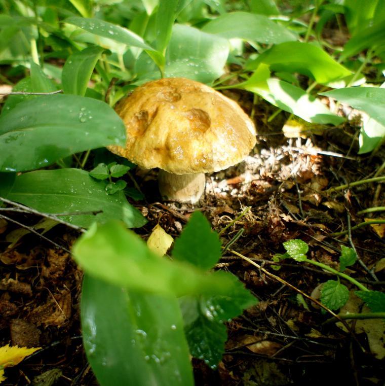 мои белые грибы