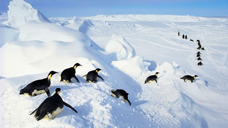 интересные пингвины