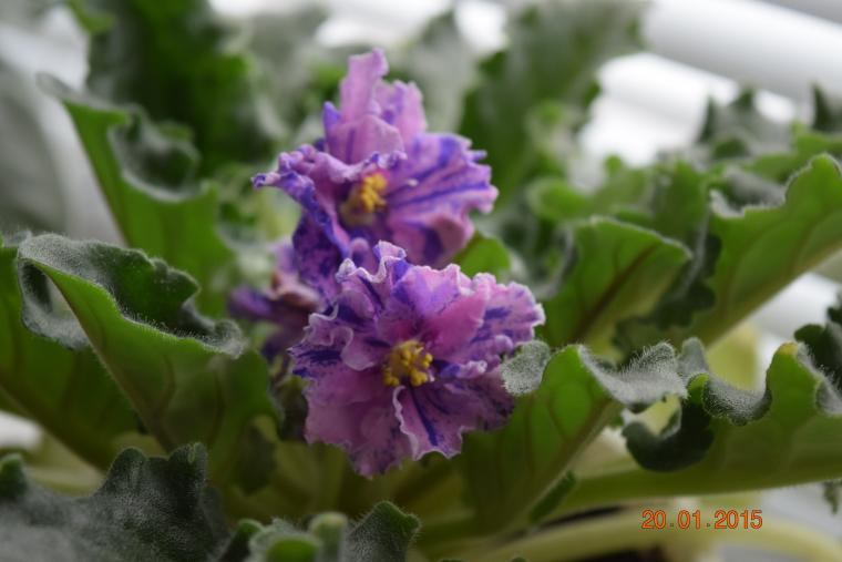 цветы, сиреневый, фиалковый