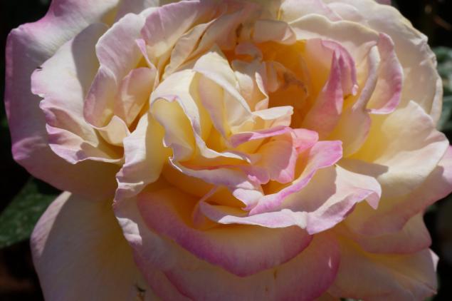 фотокартины, розы