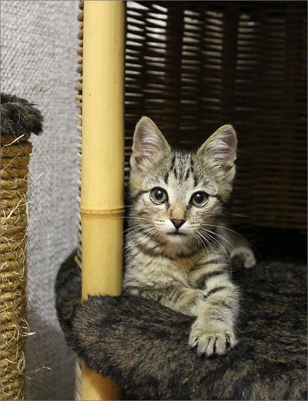 котики, полосатый