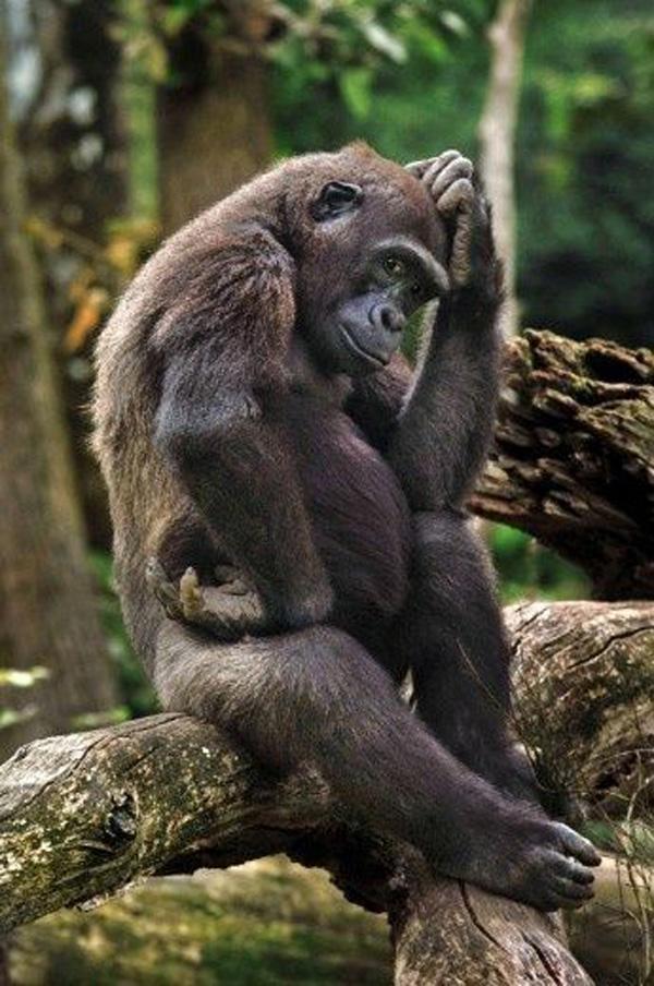 Думающая обезьяна картинка