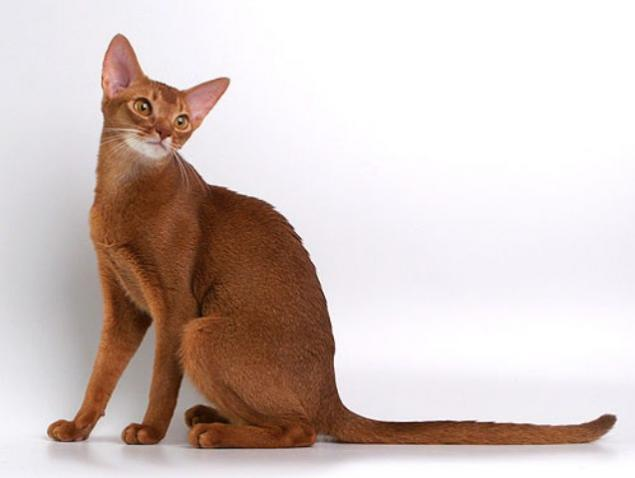 Пропала кошка абиссинская