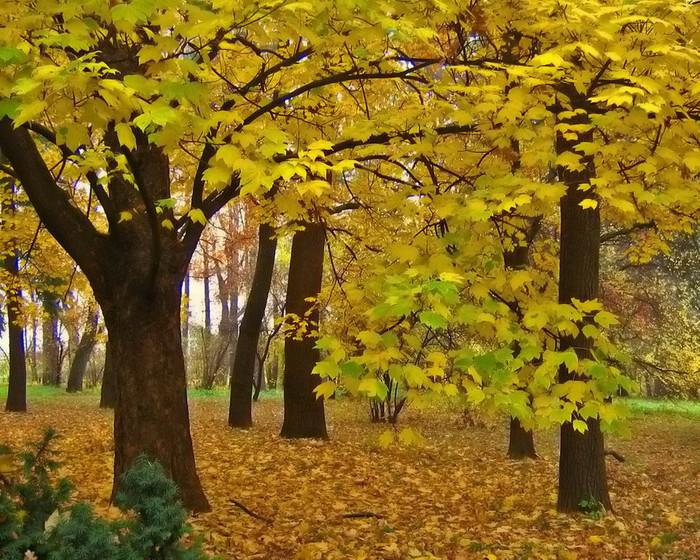 гороскоп, друиды, гороскоп друидов, лес, лесные жители, характер, черты характера, склонности, способности, клён, дерево, моё дерево, растения, весна, осень, апрель, октябрь, персональная запись, блог, известные люди