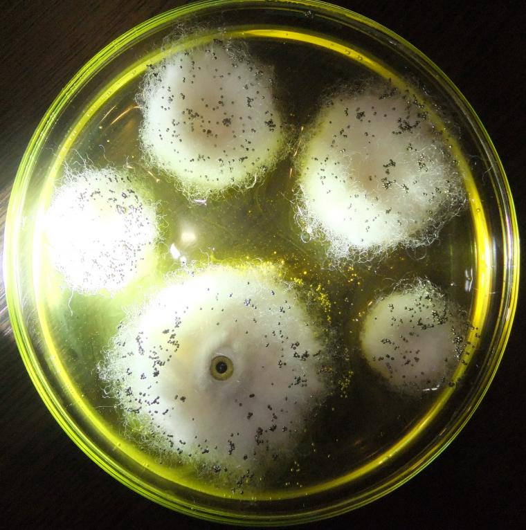 плесень, микроб, чашка петри, слизь, белый, мохнатый