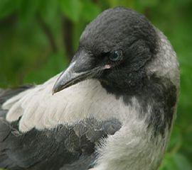 ворона, отдадим в добрые ручки, отдам даром, вороненок, птичка, птичка-невеличка, каркуша