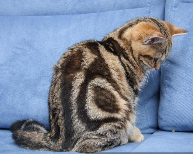 removing cat urine smell from furniture