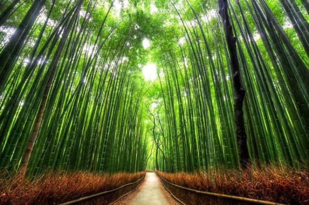 Тоннель в бамбуковой роще леса сагано