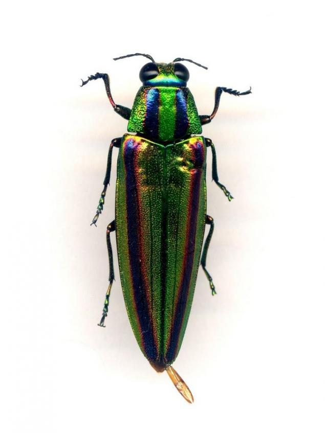 buprestidae