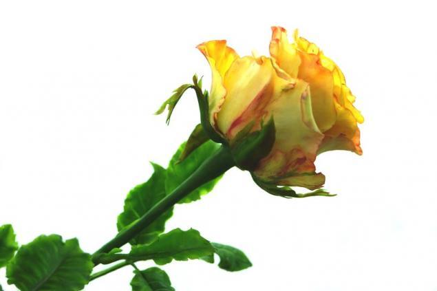 Приглашаем на Мк по лепке розы!, фото № 1