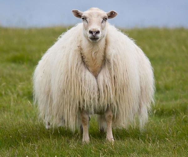 лопи, исландская шерсть, свитер вязаный, схема вязания, исландский свитер, исландская овца