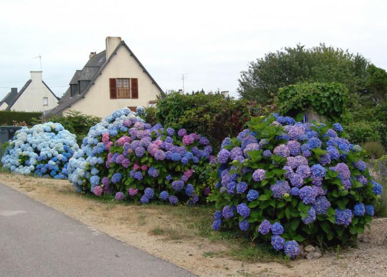 Уход за гортензией садовой в домашних условиях