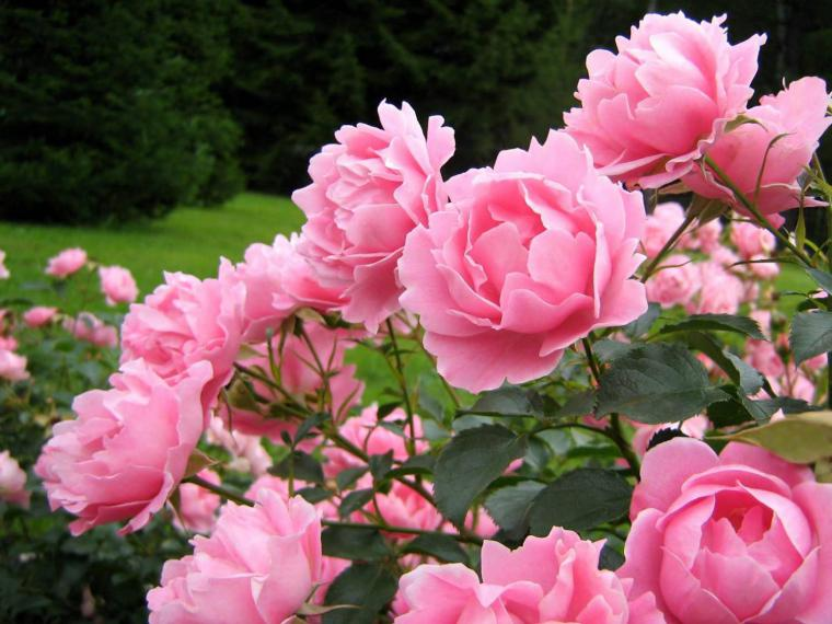 цветок фото пион